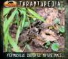 PterinochilusChordatusMatureMale3.jpg