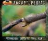 PterinochilusChordatusMatureMaleTibialHook.jpg