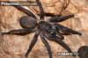 PterinochilusLapalalaFemale.jpg