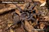 PterinochiluslapalalaAdultMale5.jpg
