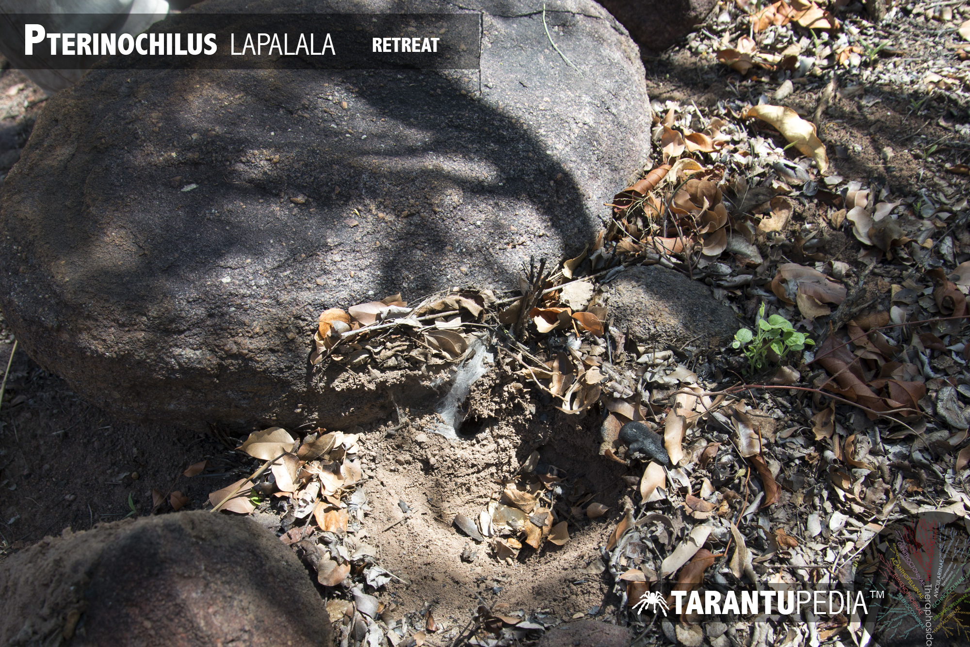 Pterinochilus lapalala
