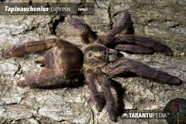 Tapinauchenius cupreus