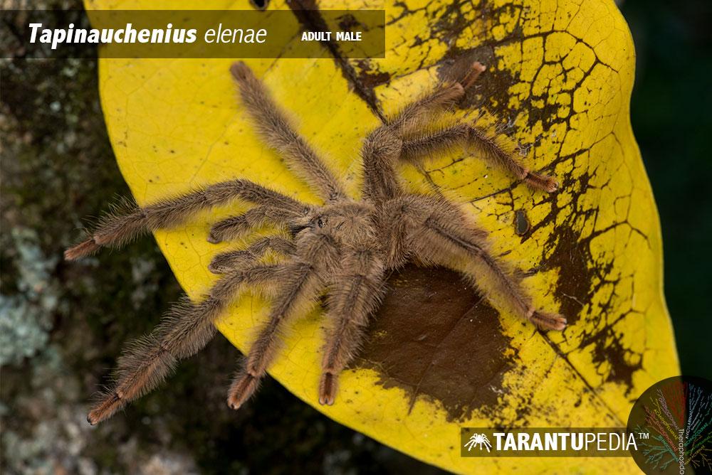 Pseudoclamoris elenae