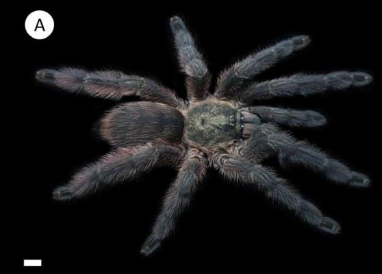 Tapinauchenius polybotes