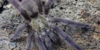 Tapinauchenius rasti