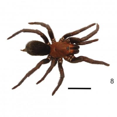 Tmesiphantes aridai