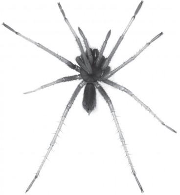 Tmesiphantes hypogeus