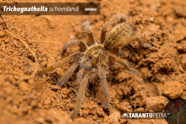 Trichognathella schoenlandi