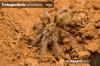 TrichoganthellaschoenlandiJuvenile.jpg