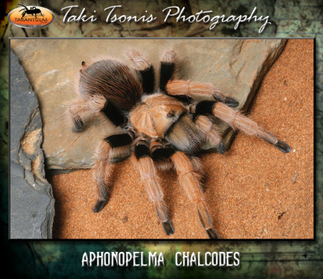 Aphonopelma chalcodes