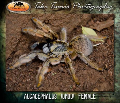 Augacephalus junodi