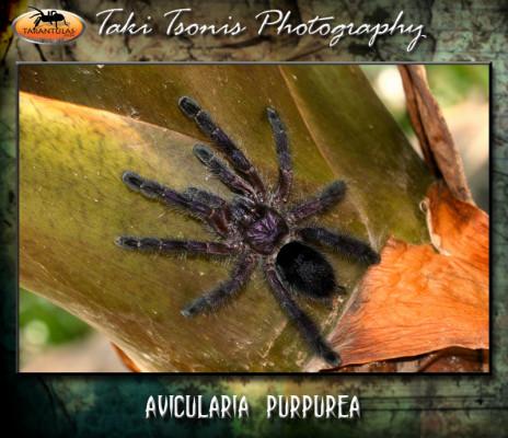 Avicularia purpurea