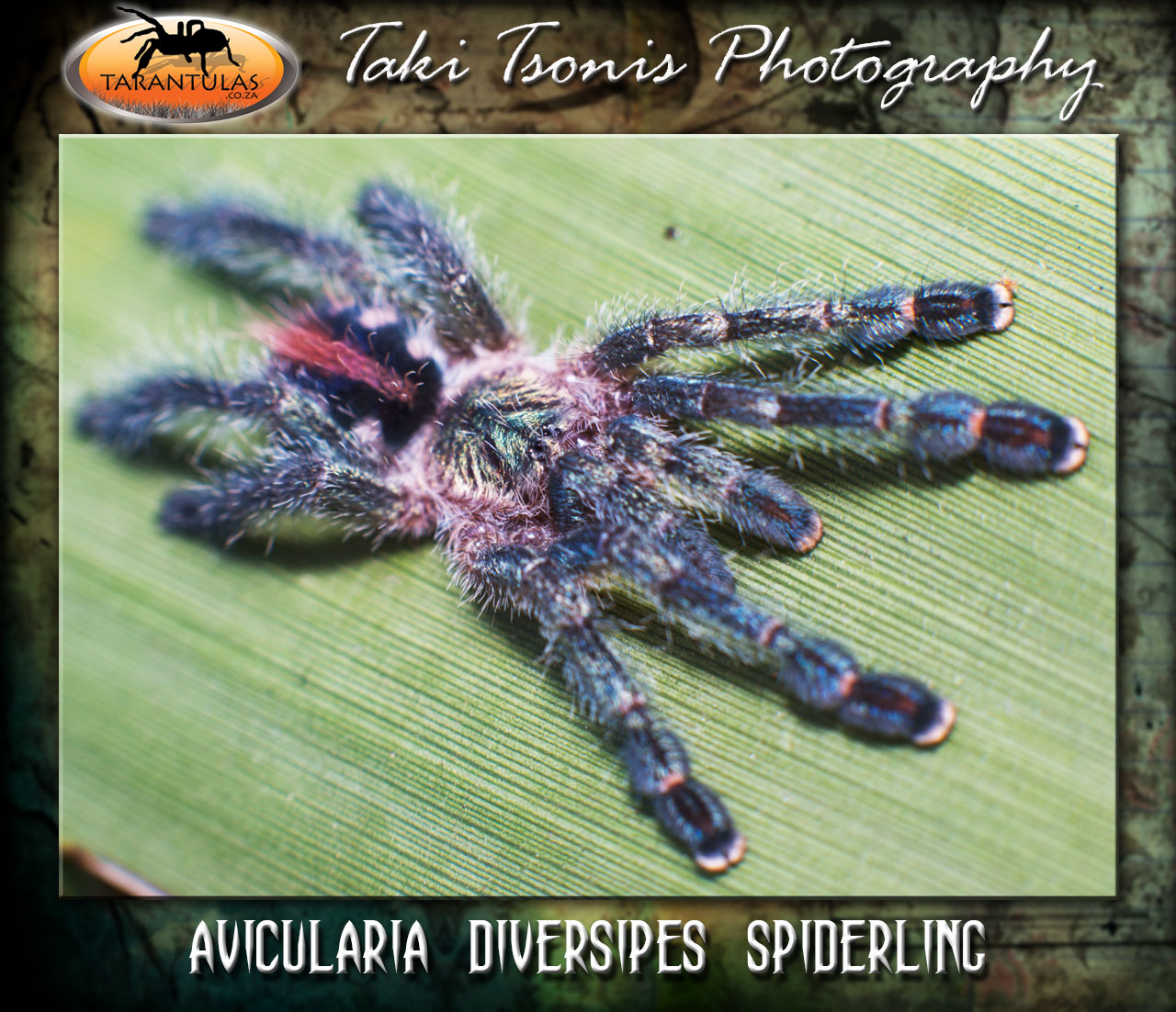 Avicularia diversipes Spiderling