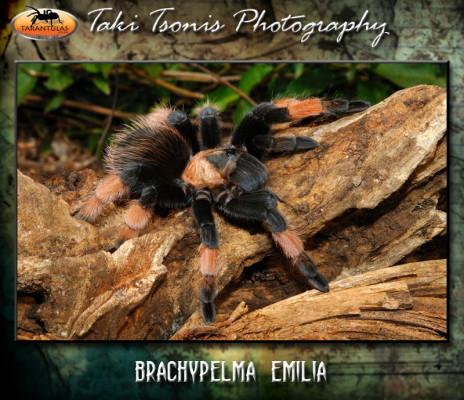 Brachypelma emilia