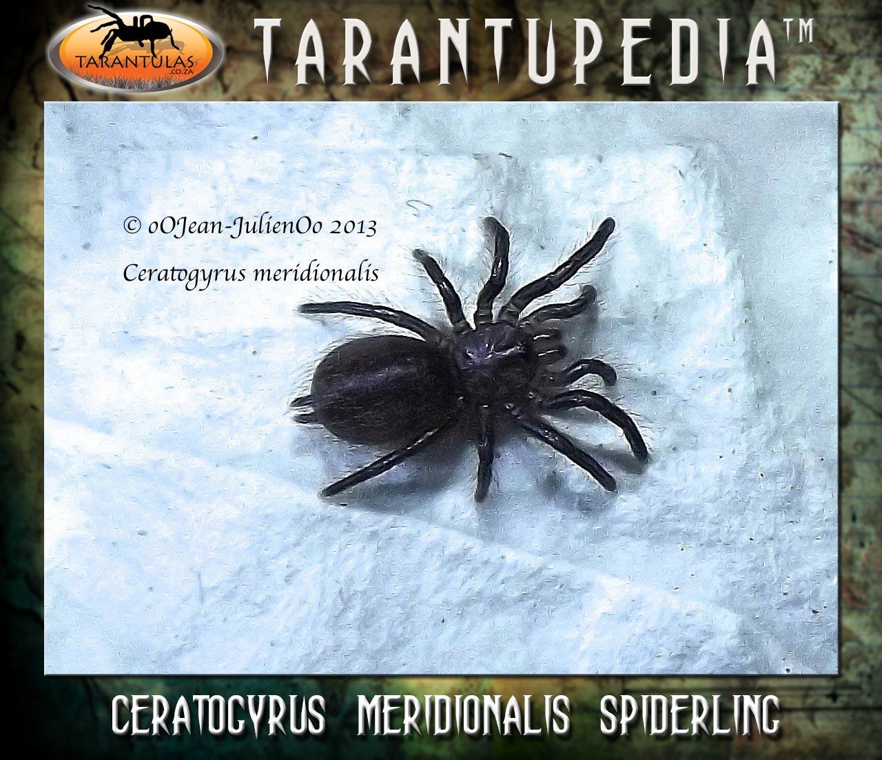 Ceratogyrus meridionalis