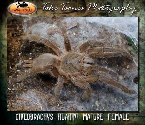 Chilobrachys huahini