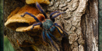 Chromatopelma cyaneopubescens (Green Bottle Blue) Female