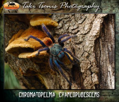 Chromatopelma cyaneopubescens (Green Bottle Blue) Female