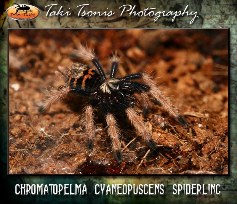 Chromatopelma cyaneopubescens