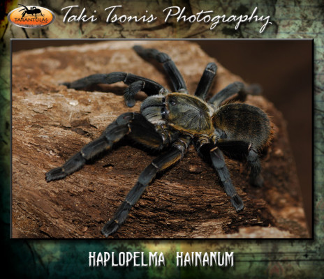 Cyriopagopus hainanus