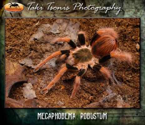 Megaphobema robustum