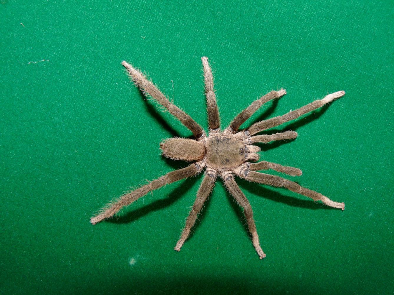 Neoheterophrictus sahyadri