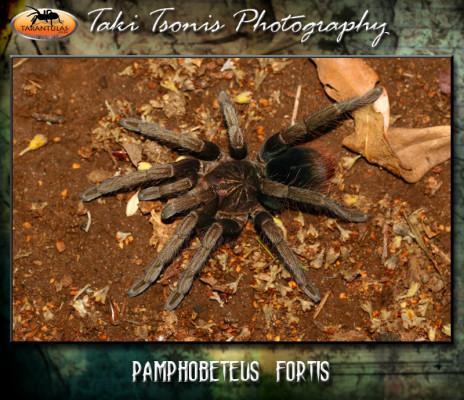Pamphobeteus fortis