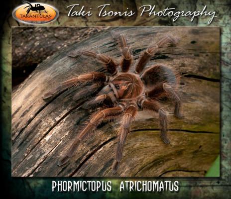 Phormictopus atrichomatus