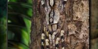 Poecilotheria fasciata