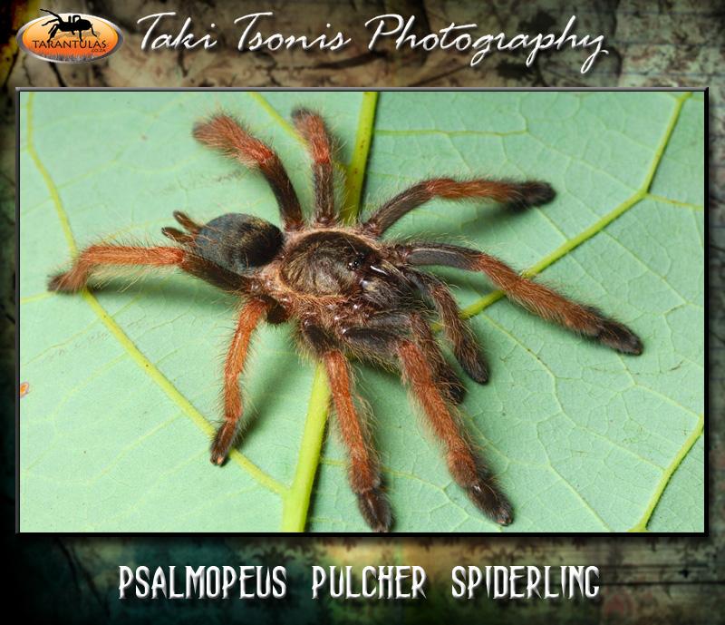 Psalmopoeus pulcher