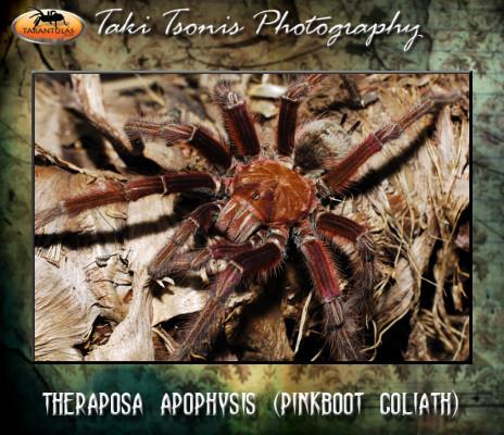Theraphosa apophysis (Pink Foot Goliath)