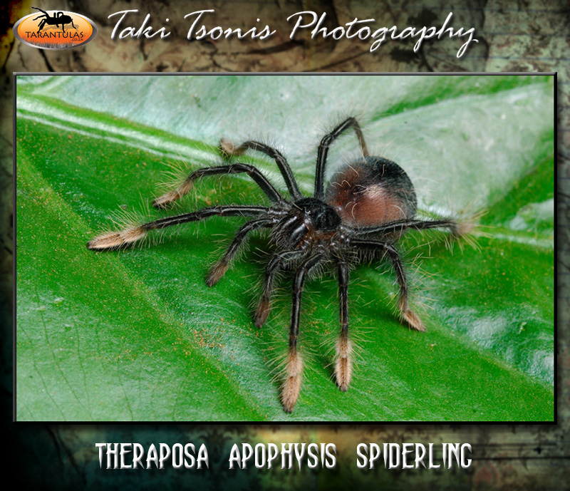 Theraphosa apophysis (Pink Foot Goliath) Spiderling