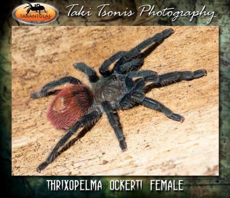 Thrixopelma ockerti