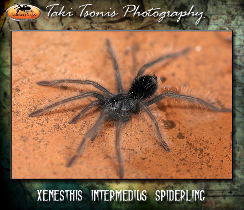 Xenesthis intermedia